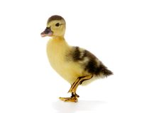 Duck on the walk. 4 days old easter duckling on a walk Stock Image