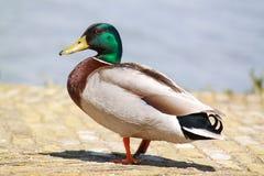 Duck. Walking on the floor Stock Image