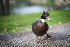 The duck. Royalty Free Stock Images