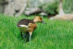 Duck walking  on the grass Royalty Free Stock Photos