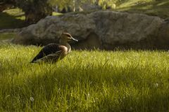 Duck walking on the grass stock photography