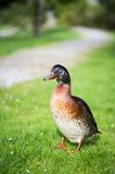 The duck. Royalty Free Stock Photo