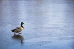 Duck walking on ice Stock Images
