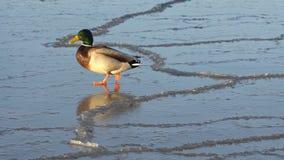 Duck walking on ice stock footage