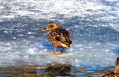 Duck walking on ice on a frozen lake Royalty Free Stock Images