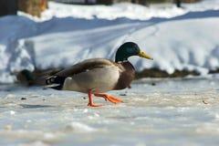 Duck walking on ice Stock Image