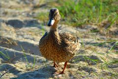 Duck walking on sand royalty free stock images