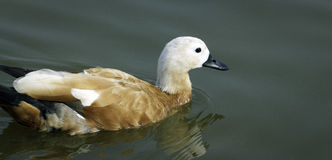 A duck Stock Photography