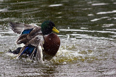 Duck Wash Stock Image