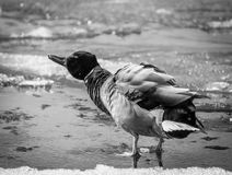 Duck is washing itself. On the frozen sea Stock Images