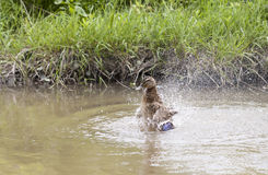 Duck washing itself in a water Royalty Free Stock Images