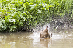 Duck washing itself in a water Royalty Free Stock Photo