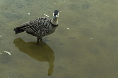 Duck. Stock Images