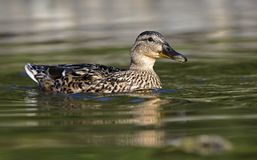 Duck on Water. Female brown mallard duck Stock Photo