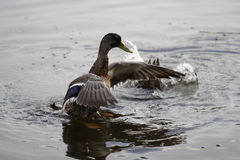 Duck on Water. Picture of duck appearing to walk on water while second duck is diving in the background Stock Images