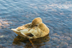 Duck in water Royalty Free Stock Photography