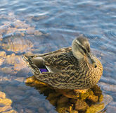 Duck in water Stock Image