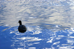 Duck in the water Royalty Free Stock Photo