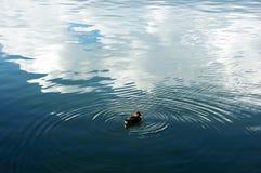 The duck Stock Photos