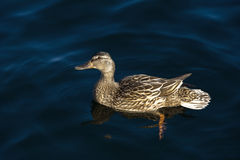 A duck on the water. A duck floating on the water Stock Images