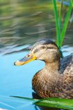Duck on the water Royalty Free Stock Image