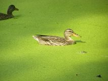 Duck on water Stock Photography