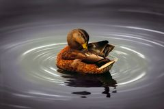 Duck in Water Stock Images