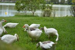 Duck, Water Bird, Bird, Ducks Geese And Swans Stock Photo