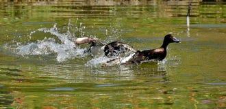 Duck, Water, Bird, Fauna stock photo