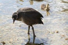 ng, ducks, wildlife, swim, young, birds, wild, river, baby stock photos