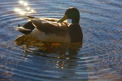 Duck in water Stock Photography