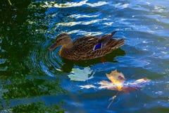 Duck In Water Closeup Imagen de archivo