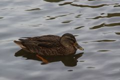 Bassin de la Muette - Elancourt - France - A duck only in the water. Sight viex Royalty Free Stock Images