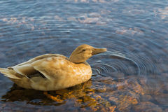 Duck in water drinking Royalty Free Stock Photos