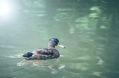 Duck on the water. Duck on the green pond water royalty free stock photo