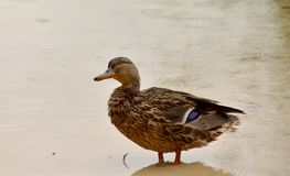 A duck in water royalty free stock photography