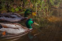 Duck in water, ducks swim in the water, park with a pond. Couple beautiful migratory wild duck floating on a pond, a brown green plumage and a yellow beak royalty free stock photography