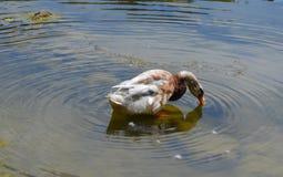 Duck, Water, Fauna, Water Bird royalty free stock photography