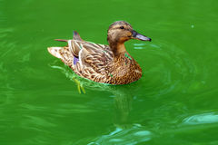 Duck in water Stock Photo