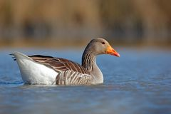 Duck in the water. Greylag Goose, Anser anser, floating on the water surface. Bird in the water. Water bird on the lake. Hungary. Royalty Free Stock Image