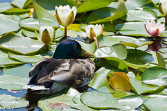 Duck and water lily Royalty Free Stock Photo