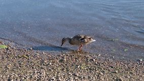 Duck in the water looking for food stock video