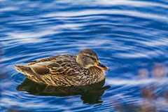 Duck on water, with reflection Royalty Free Stock Photo