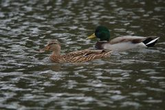 Duck in water. A.mallard drake in water preening Stock Photography