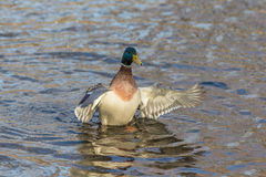 Duck on the water in motion Royalty Free Stock Image
