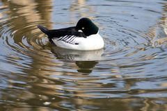Duck water nature animal free Royalty Free Stock Images
