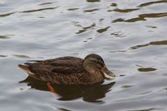 A duck in the water - The nature is beautiful - France.  Stock Image
