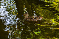 A duck on the water. This picture was taken at the lake at Winkworth Arboretum in early Oct Stock Photography