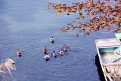 Duck Water Race Imagenes de archivo