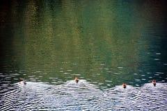 Duck Water Race imágenes de archivo libres de regalías
